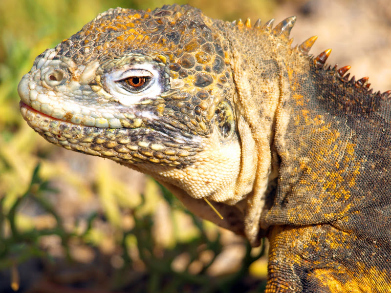 Photo: Land Iguana Galapagos