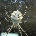 Lobed argiope spider (λοβωτή αργιόπη)