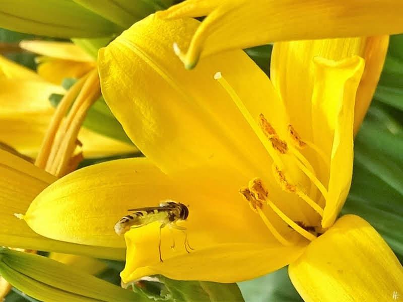 2019-06-02 LüchowSss Garten Gelbe Taglilie (Hemerocallis lilioasphodelus) + Langbauch-Schwebfliege (Sphaerophoria scripta), weibl.