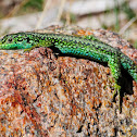 Carpetane Rock Lizard; Lagartija Carpetana