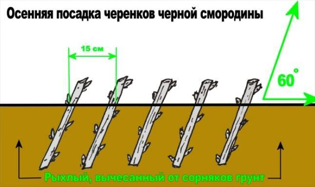 Особенности посадки смородины