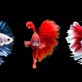 betta, fish, color, colorfull, red, blue, white by Sulistyo Aji - Uncategorized All Uncategorized ( indonesian, macro, close up, natural, nature, nature up close, betta, indonesia, nature art, nikon, macro photography, fish, macro art, nature close up, nature photography,  )
