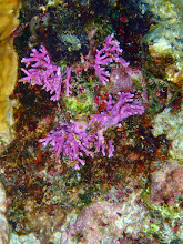 Photo: Burgundy coloured Lace Coral