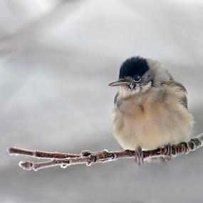 Frozen Grandma by Zeljko Padavic - Animals Birds (  )