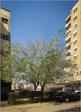 Photo: Corcodusi (Prunus cerasifera) - Turda, Calea Victoriei, zona materna - 2019.04.01