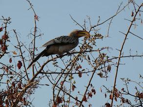 Photo: #021- Calao leucomèle (Southern yellow-billed hornbill) à Ethosha
