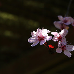 Plum purdy by Todd Ratisseau - Flowers Tree Blossoms ( awesome shot, oregon, flower power, plum tree, spring )