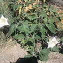 Western Jimson Weed