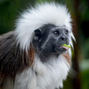 Fro by Aimee Osborne - Animals Other ( spike, tongue, food, africa, monkey )