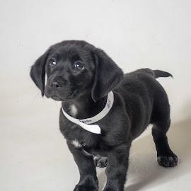 Apollo by Jon Harvey - Animals - Dogs Puppies ( labrador, poundpuppy, puppy, black, dogs, cute,  )