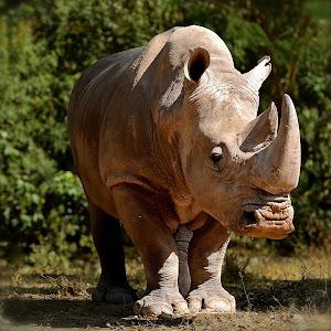 rhino ver.1.jpg