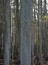 Photo: Cedar bog