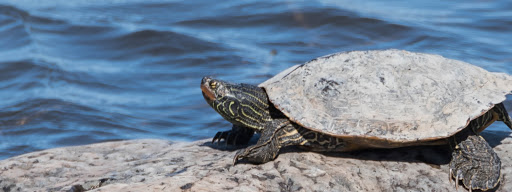 Northern Map Turtle (Graptemys geographica), , Rapids Park Lachine, Montreal, 2017/04/29