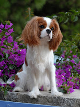 "Photo: Cavalier King Charles Spaniel ""Cash"" (as a puppy)"