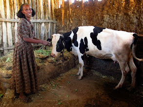 Photo: Submitted by Save the Children  Abadit, 45, received a dairy cow to improve her income in Tigray region, Ethiopia, as part of Save the Children's Food Security program.