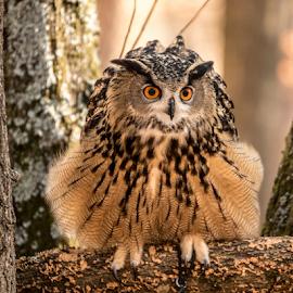 All Ruffled Up by Myra Brizendine Wilson - Animals Birds ( raptor birds, brown owl, carolina raptor center, raptor center, owl, bird of prey, brown )