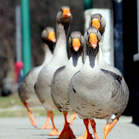 Out for a walk by Yvette O Beirne - Animals Birds ( family, pwcmovinganimals, geese, walk, birds )