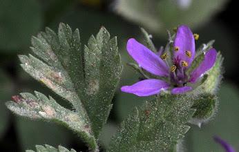 Photo: Erodium ciconium (Geraniaceae)