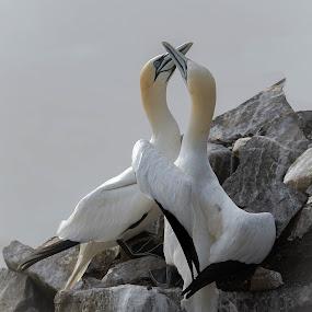 Gannet Love by Ronnie Sue Ambrosino - Animals Birds ( love, gannet, newfoundland, bird, nesting, cape st mary, nest, mating,  )