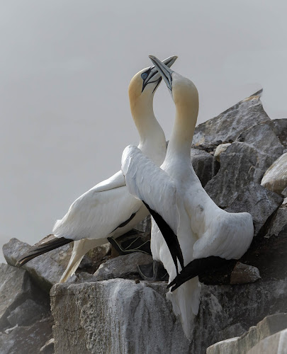 Gannet Love by Ronnie Sue Ambrosino - Animals Birds ( love, gannet, newfoundland, bird, nesting, cape st mary, nest, mating,  )