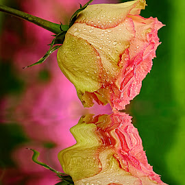 Pink reflexion by Gérard CHATENET - Flowers Flower Arangements (  )