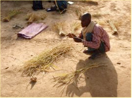 Photo: Timbuktu, Mali, West Africa. October 2008. A Malian farmer in the Timbuktu region counts the tillers on harvested plants. [Photo by Erika Styger]