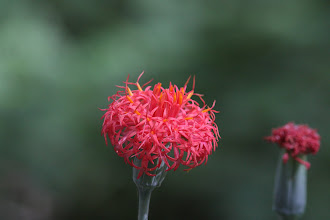Photo: Kleinia abyssinica