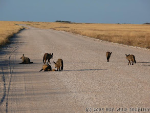 Photo: Liška v Etoshe / Bat-eared fox in Etosha