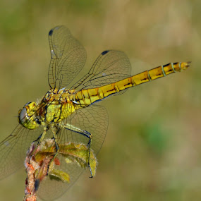 Green Dragonfly by Steen Hovmand Lassen - Animals Insects & Spiders ( wing, detail, damselfly, green, beautiful, dragon, wildlife, dragon-fly, beauty, insect, long, environment, life, nature, bug, darter, big, dragonfly, natural, entomology, biology, closeup, animal )