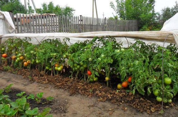 C:\Users\manum\Desktop\Vyrashchivanie-pomidorov-v-otkrytom-grunte-5-e1550074460544.jpg