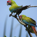 Great Geen Macaw