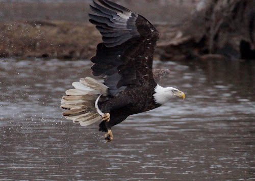 Got it! by Beth Collins - Animals Birds ( water, eagle, fish, bald eagle, river,  )