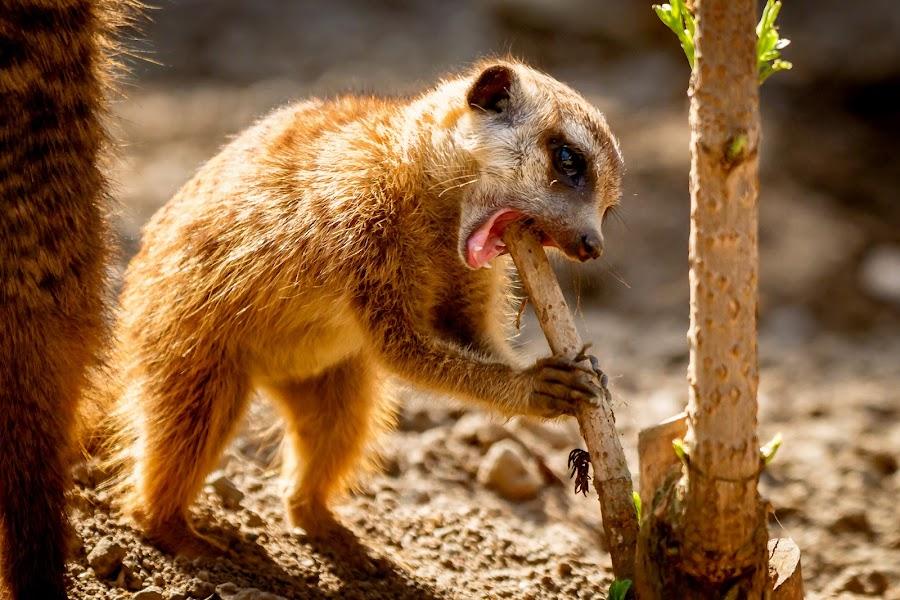 Yummy stick by Thorsten Scheel - Animals Other Mammals ( zoo, meerkat, hof )