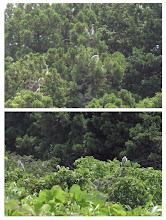 Photo: 撮影者:中村后子 アオサギ タイトル:アオサギ 観察年月日:2015年6月20日 羽数:17± 場所:陣馬街道切通日枝神社の杉の木のコロニーとその付近 区分:行動 メッシュ:拝島1B コメント: