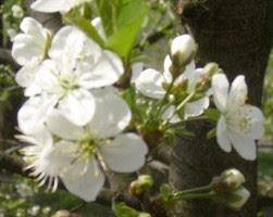 Photo: Cseresznyevirág