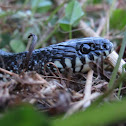 Eastern Black King Snake