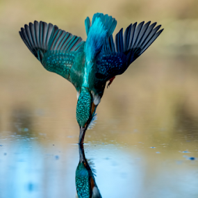 impact by Riccardo Trevisani - Animals Birds ( riccardo trevisani, kingfisher, wildlife, nikon, birds )