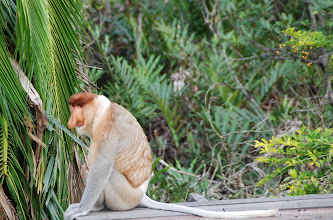 Photo: The BIG NOSED Proboscis Monkey only found in Malaysia