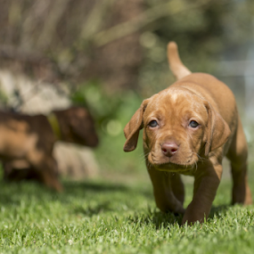 Stalking by Gordon Bishop - Animals - Dogs Puppies ( intelligent, breed, shar, close, eyes, silly, nature, card, humor, fetch, fun, mutt, hungarian, portrait, canine, sweet, ear, hunting, adorable, fawn, natural, outside, friend, face, laying down, viszla, beauty, cute, spring, pretty, fantasy, happy, visla, vizsla, trained, animal, calendar, look, beautiful, funny, play, domestic, young, gave, doggy, dress-up, pet, outdoor, puppy, dog, springtime, pei, smart )