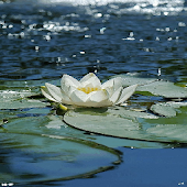 Water Lily Live Wallpaper
