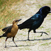 Boat-tailed Grackle (pair)