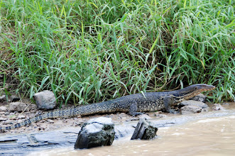 Photo: Monitor Lizard on the river Kinabatangan