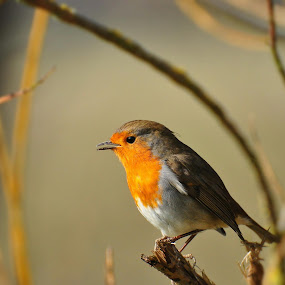 Robin by Tony Steele - Animals Birds