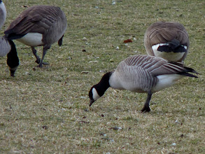 Photo: Cackling Goose with Canada Geese