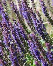 Photo: Paint daubs (4-60) - blue salvia