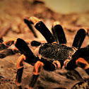 Costa Rican Orange-kneed Tarantula