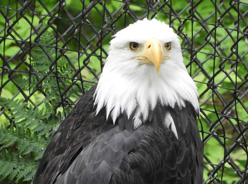 eagle-sitka-raptor-center2.jpg - A bald eagle recovering at the Alaska Raptor Center in Sitka.