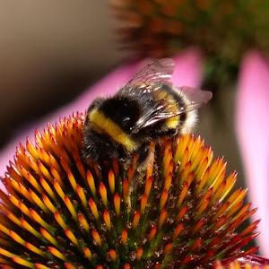 uronjen u nektar...koc.jpg