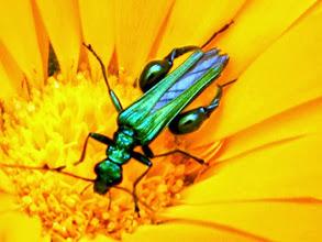 """Photo: Un bijou sur une fleur. """"Oedemera nobilis"""" mâle."""
