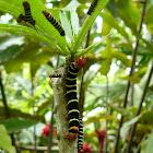 Frangipani Hawkmoth Catterpillars